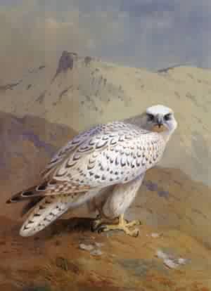 A Greenland or Gyr Falcon | Archibald Thorburn | Oil Painting