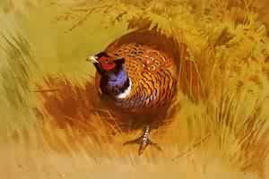 A Cock Pheasant | Archibald Thorburn | Oil Painting