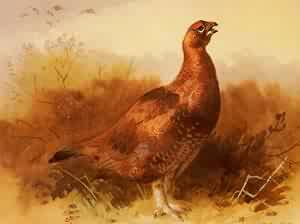 Cock Grouse | Archibald Thorburn | Oil Painting