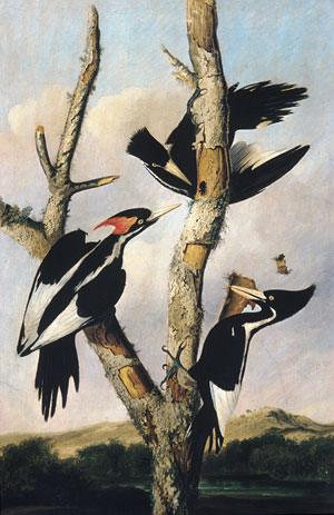 Ivory billed Woodpeckers 1830 | Joseph Bartholomew Kidd Formerly | Oil Painting