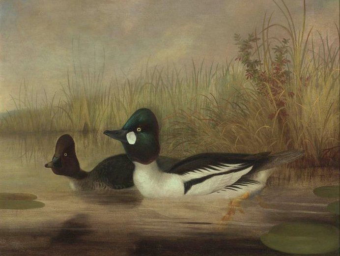 Buffel Head Ducks mid 19th century | Isaac Sprague | oil painting