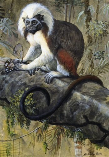 Cotton Topped Tamarin | Louis Agassiz Fuertes | oil painting