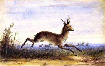 Antelope   Alfred Jacob Miller   oil painting