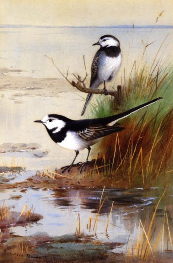 A Pair of Pied Wagtails | Archibald Thorburn | oil painting