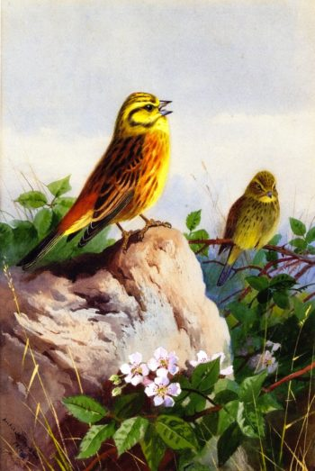 A Pair of Yellowhammers | Archibald Thorburn | oil painting