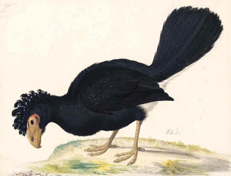 A Black Curassow | Johannes van Bronckhorst | oil painting