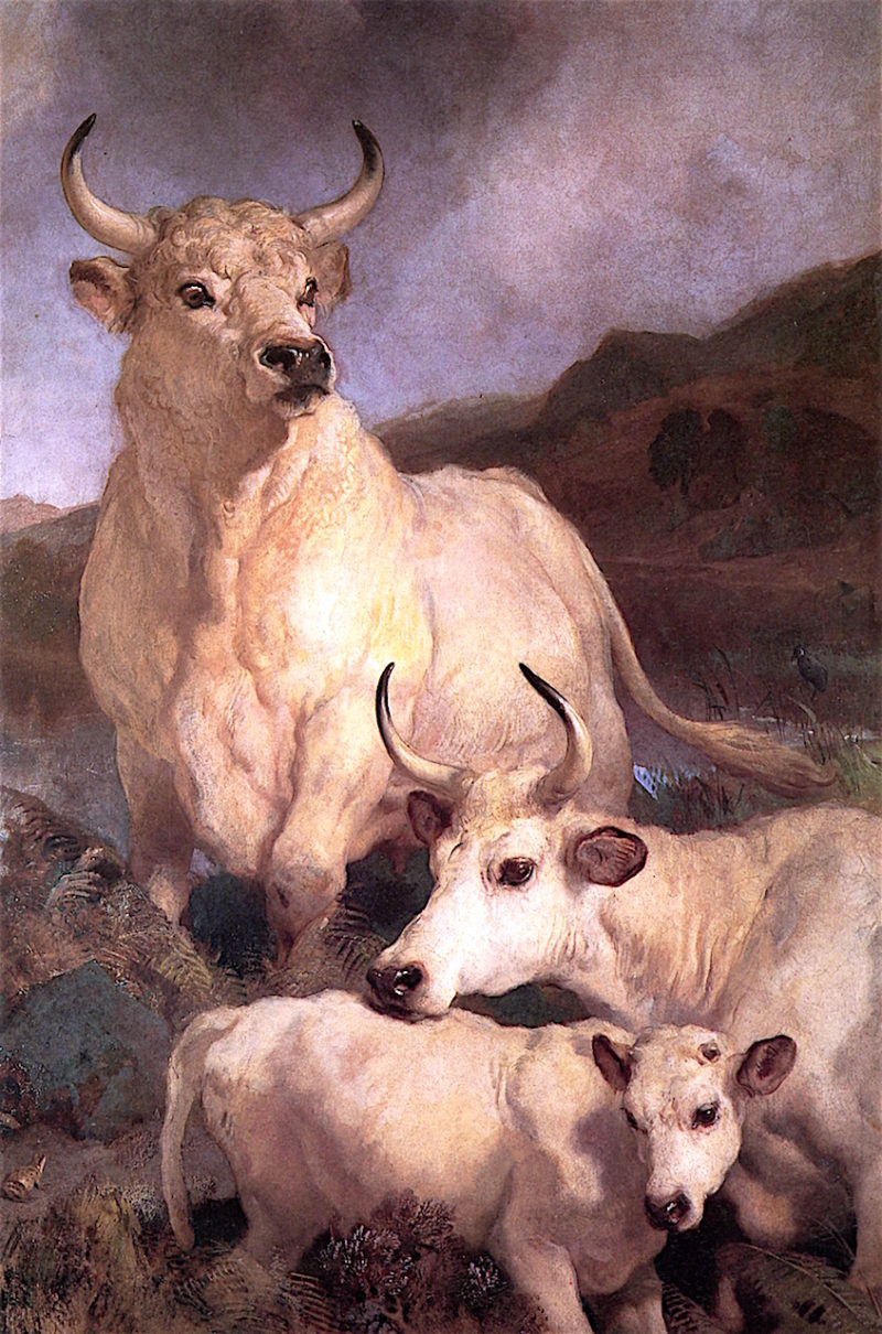 Wild Cattle of Chillingham