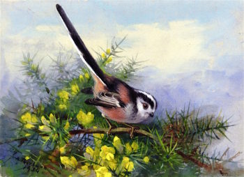 A Long - tailed Tit Perched on a Gorse Bush | Archibald Thorburn | oil painting