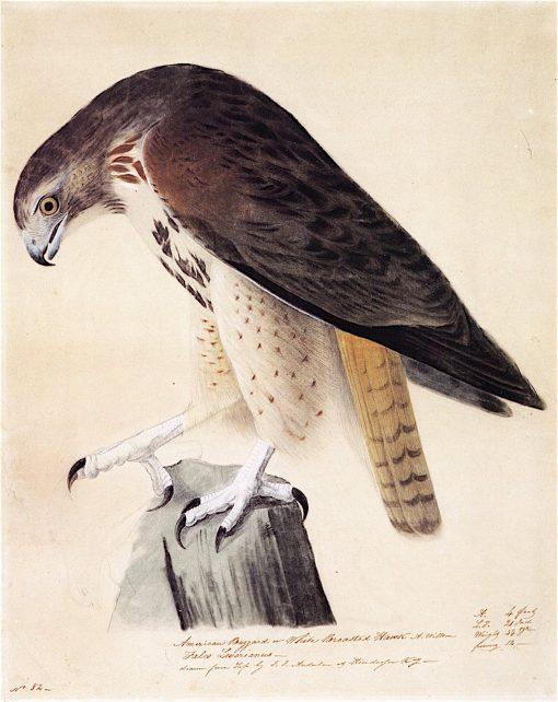 American Buzzard or White Breasted Hawk   John James Audubon   oil painting