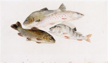 Study of Fish -  Two Tench
