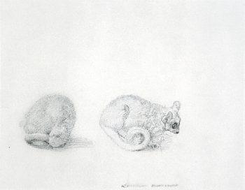 Marmaduke Tunstalls Mouse Lemur | George Stubbs | oil painting
