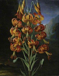 Lilium Superbum | Philip Reinagle | Oil Painting