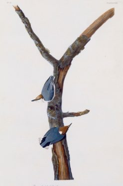 Brown-Headed Nuthatch | John James Audubon | Oil Painting