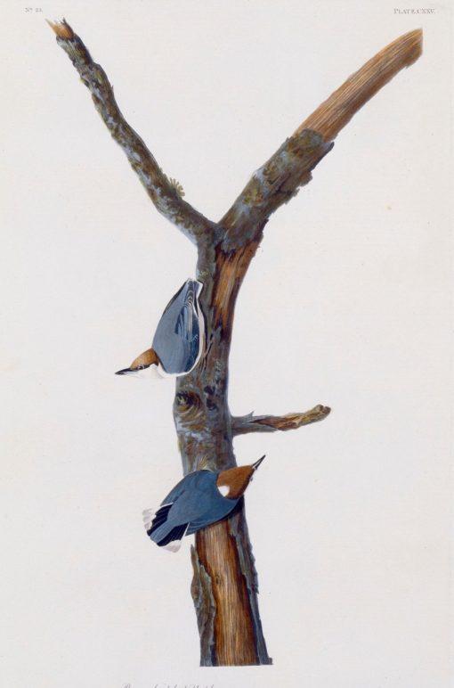 Brown-Headed Nuthatch | John James Audubon | Oil Painting