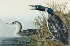 Great Northern Diver or Loon | John James Audubon | Oil Painting