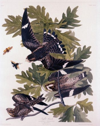 Night Hawk | John James Audubon | Oil Painting