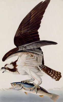Fish Hawk or Osprey | John James Audubon | Oil Painting