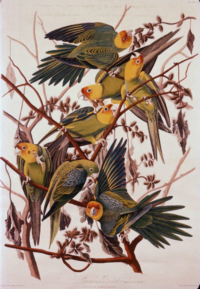 Carolina Parrot   John James Audubon   Oil Painting
