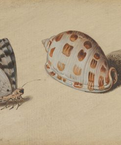 An Arrowhead Blue Butterfly and a Scotch Bonnet Sea Shell | Balthasar van der Ast | Oil Painting