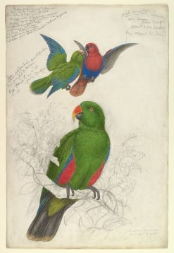 Eclectus Roratus Polychloros | Edward Lear | Oil Painting