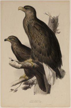 Sea Eagle | Edward Lear | Oil Painting
