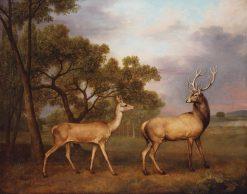 A Red Deer