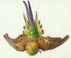Parakeet in Flight | Edward Lear | Oil Painting