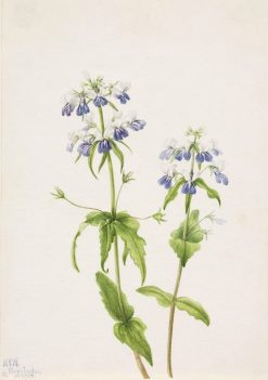 Blue-Eyed Mary (Collinsia verna) | Mary Vaux Walcott | Oil Painting