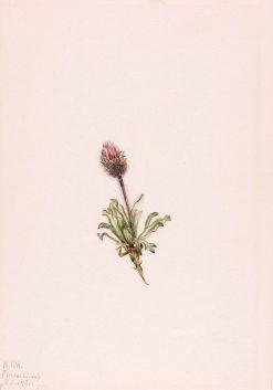 Woolly Fleabane (Erigeron lanatus) | Mary Vaux Walcott | Oil Painting