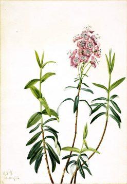 Bog Kalmia (Kalmia polifolia) | Mary Vaux Walcott | Oil Painting