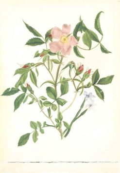 Wild Rose and Blue-eyed Grass (Rosa species and Sisyrinchium species) | Mary Vaux Walcott | Oil Painting
