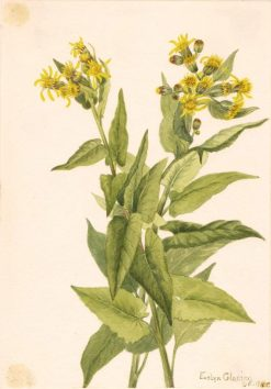 Arrowleaf Groundsel (Senecia triangularis) | Mary Vaux Walcott | Oil Painting