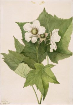 White Flowering Raspberry (Rubus parviflorus) | Mary Vaux Walcott | Oil Painting