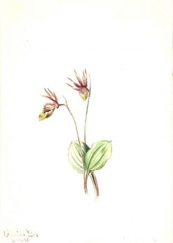 Calypso (Cytherea bulbosa)   Mary Vaux Walcott   Oil Painting