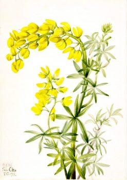 Yellow Lupine (Lupinis arboreus) | Mary Vaux Walcott | Oil Painting