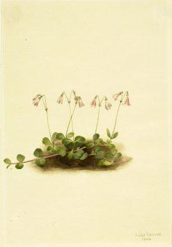 American Twinflower (Linnaea borealis americana) | Mary Vaux Walcott | Oil Painting