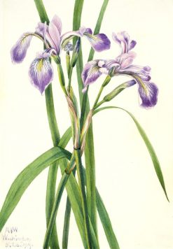 Blueflag Iris (Iris versicolor) | Mary Vaux Walcott | Oil Painting