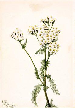 Western Yarrow (Achillea lanulosa)   Mary Vaux Walcott   Oil Painting