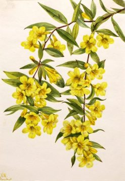 Carolina Jessamine (Gelsemium sempervirens) | Mary Vaux Walcott | Oil Painting