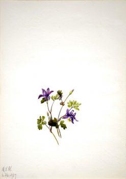 Blue Columbine (Aquilegia saximontana)   Mary Vaux Walcott   Oil Painting