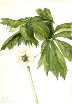 Mayapple (Podphyllum paltatum) | Mary Vaux Walcott | Oil Painting