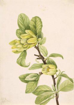 Yellow Cucumbertree (Magnolia cordata) | Mary Vaux Walcott | Oil Painting