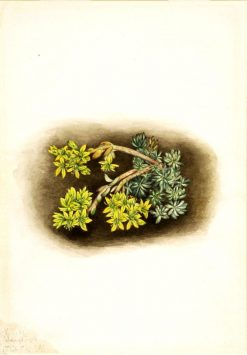 Yellow Stonecrop (Sedum stenopetalum) | Mary Vaux Walcott | Oil Painting