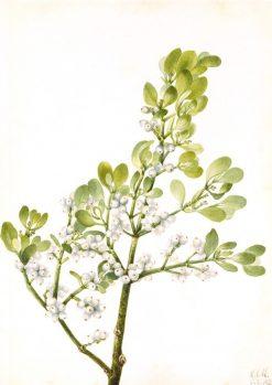 American Mistletoe (Phoradendron flavescens) | Mary Vaux Walcott | Oil Painting