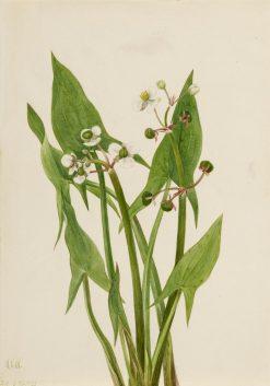 Arum Arrowhead (Sagittaria cuneata) | Mary Vaux Walcott | Oil Painting