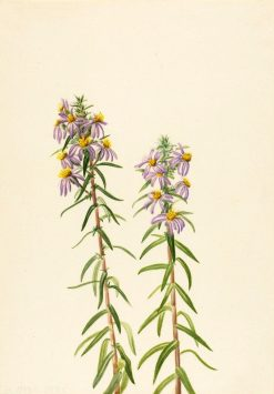 Aster (Aster hirariifolius) | Mary Vaux Walcott | Oil Painting
