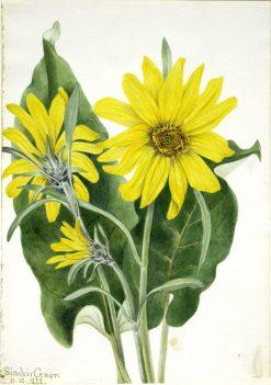 Balsamroot (Balsamorhiza sagittata) | Mary Vaux Walcott | Oil Painting