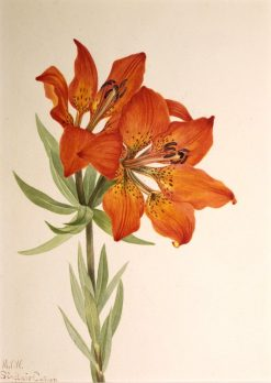 Red Lily (Lilium montanum) | Mary Vaux Walcott | Oil Painting