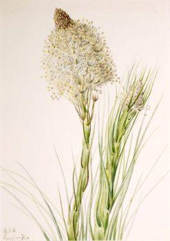 Beargrass (Xerophyllum tenax) | Mary Vaux Walcott | Oil Painting