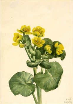Marsh Marigold (Caltha palustris) | Mary Vaux Walcott | Oil Painting